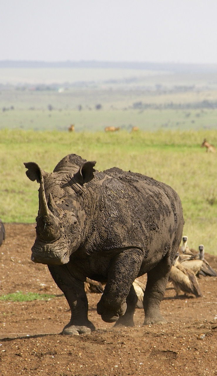 Rhino covered in mud.