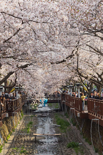 Jinhae Yeojwacheon Stream Cheria Holiday