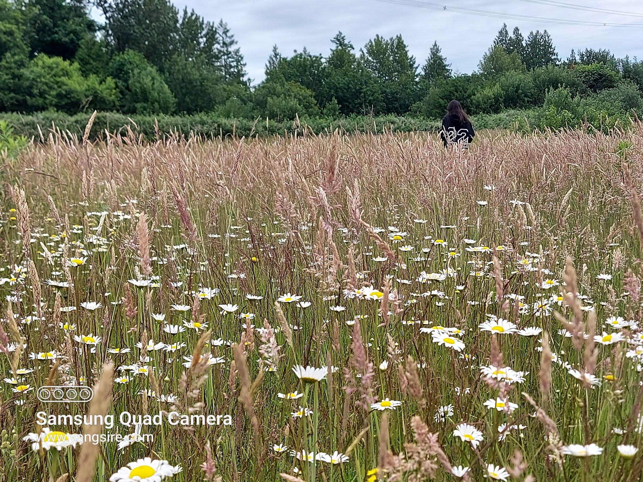 Daisy's field