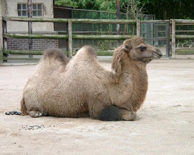 Bactrian camel, Zoologischer Garten Frankfurt, Frankfurt Zoological Garden, Bernhard-Grzimek-Allee, Frankfurt