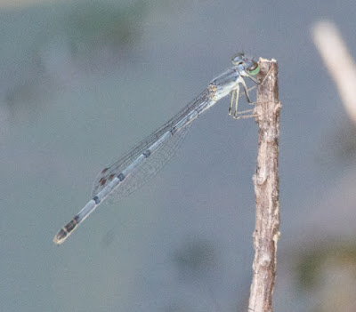 Eastern Forktail (Ischnura verticals)