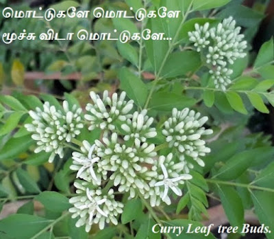 Curry leaf  tree buds