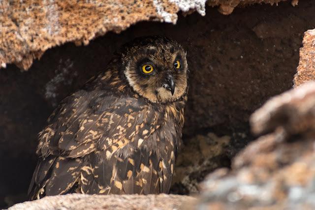 Galápagos Short-eared Owl, Genovesa Island