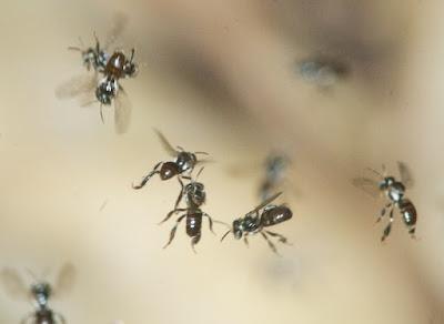 Euglossine bees