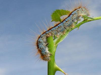 Malacosoma castrensis caterpillar