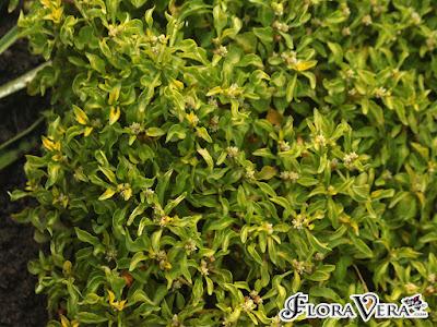 Tanaman Hias Penutup Tanah Dengan Bunga Kriminil (Alternanthera ficoida)