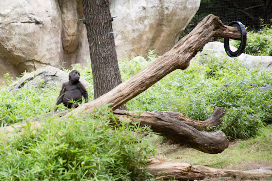 The Intelligence of Gorillas