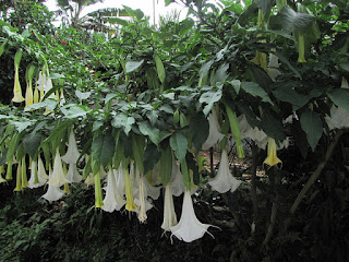Brugmansia, the innocent source of something much more sinister ...