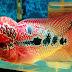Jenis Ikan Louhan Terbesar dan Termahal yang Tentunya Sangat Menawan