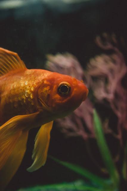 pez dorado en un acuario