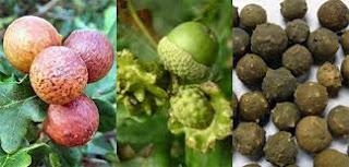 Kewanitaan rapet dengan buah manjakani