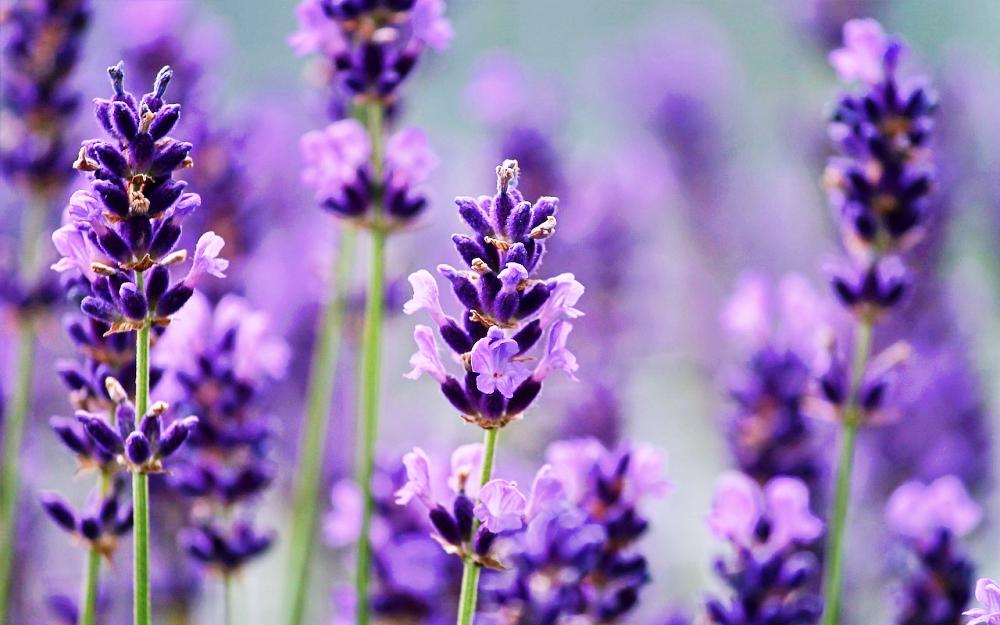 Lavendelöl hilft gegen Pickel und Stress: Alles zum Beauty-Helfer