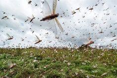 Swarm of  Desert Locusts Attacking