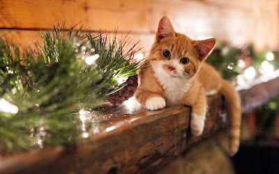 a-lovely-cat-images-for-nice-background-pics
