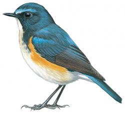 Orange-flanked Bush-robin