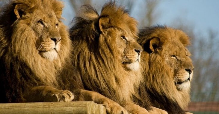 Lions eat suspected poacher near the Kruger National Park in South Africa