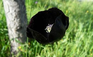 Poppy tengah malam hitam