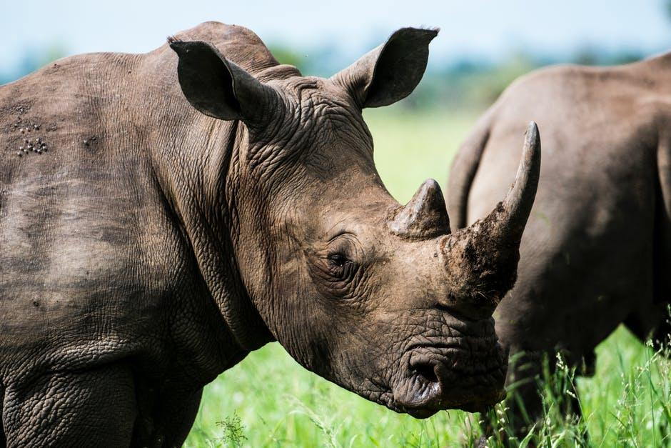 La corne du rhinocéros : moyen de défense