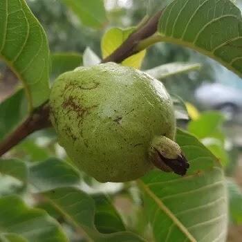 पेरू, Guava fruits name in Marathi