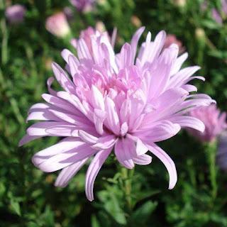 Gambar Bunga Aster yang Cantik 15
