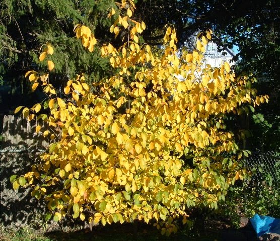Spicebush with October color
