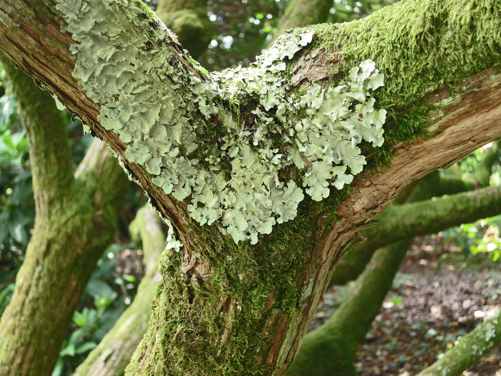 Lichen in v shaped crook of tree.