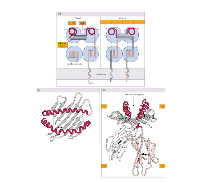 Class I and class II MHC molecules