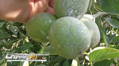 Крупноплодный скороплодный карликовый грецкий орех Скиф от Walnuts Broker