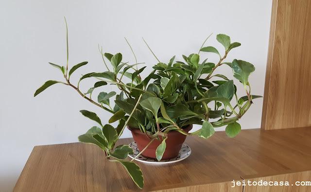plantas-para-decorar