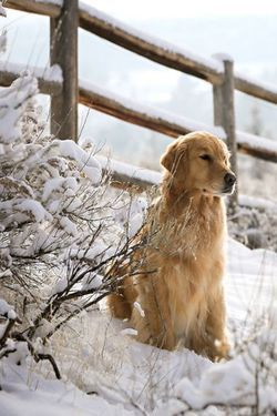 Beautiful winter scene with golden retriever in snow