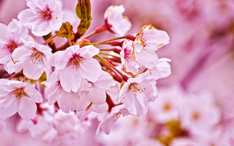 Gambar Bunga Sakura Untuk Wallpaper Art Wallpaper