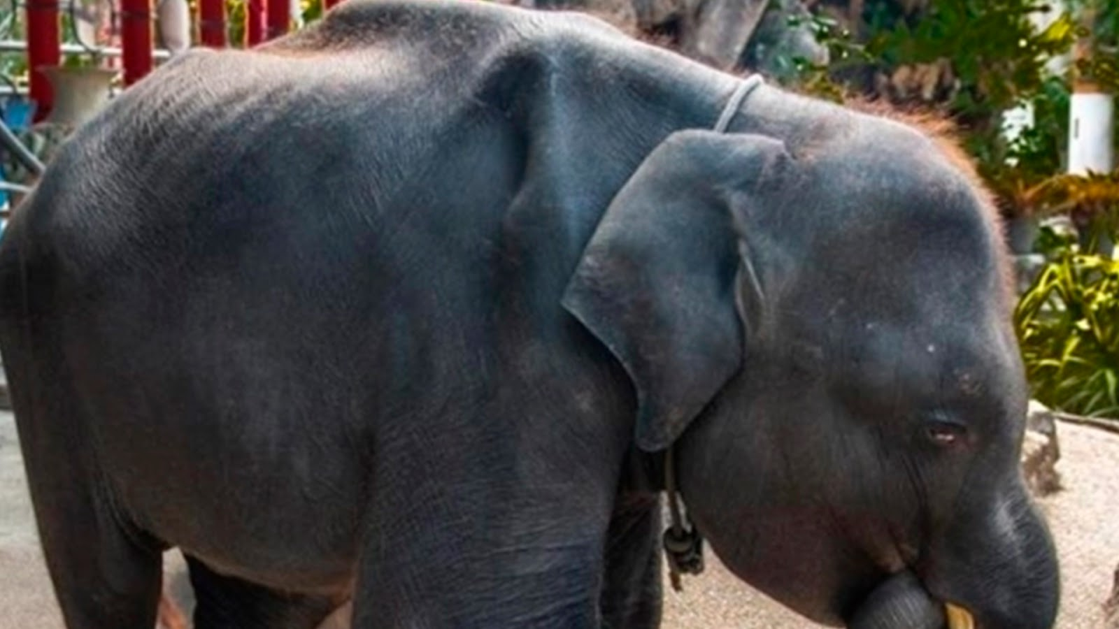 Elefante bebé muere tras ser forzado a bailar en un zoológico