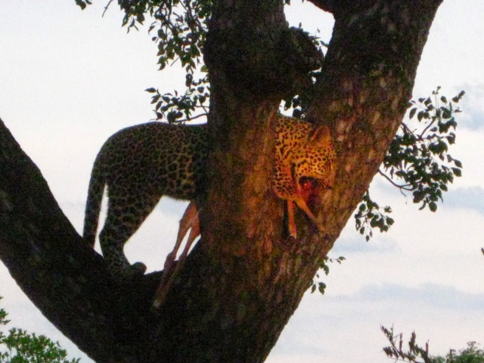 Sabi Sands - We catch a leopard feeding on an impala in a tree