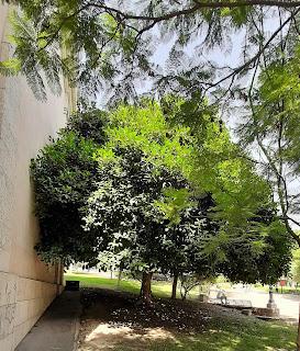 Che bello quel parco ed i suoi Ficus!