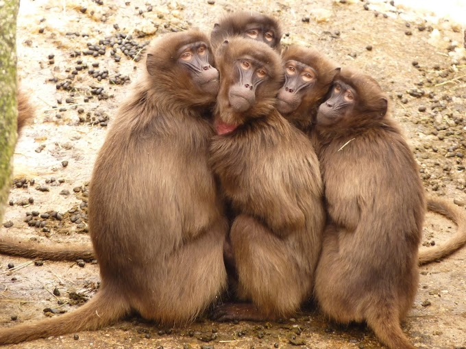 What are Scientists doing with the  Monkeys?