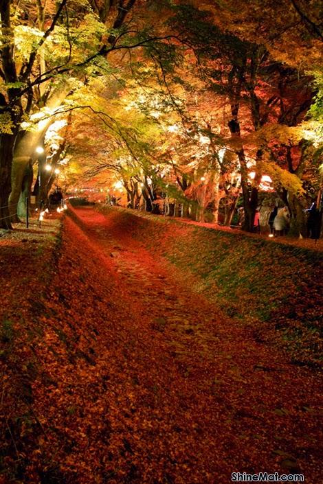 Maple Tree Tunnel, Fujikawaguchiko, Yamanashi, Japan