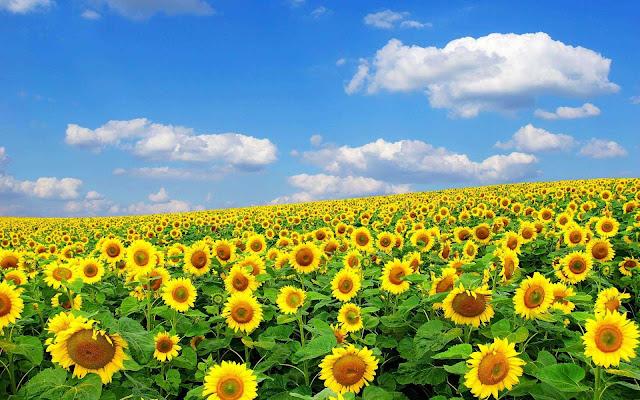 photography sunflower wallpaper