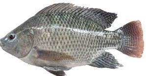 Analisa Usaha dan Cara Budidaya Ikan Nila