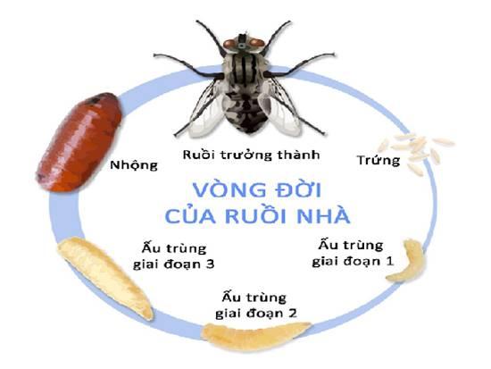 Tác hại, tập tính và các biện pháp phòng chống ruồi nhặng