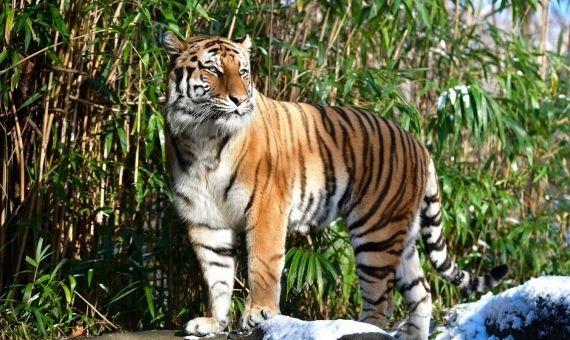Tigre da positivo por Covid-19 en zoológico de Nueva York; es el primer caso en su especie