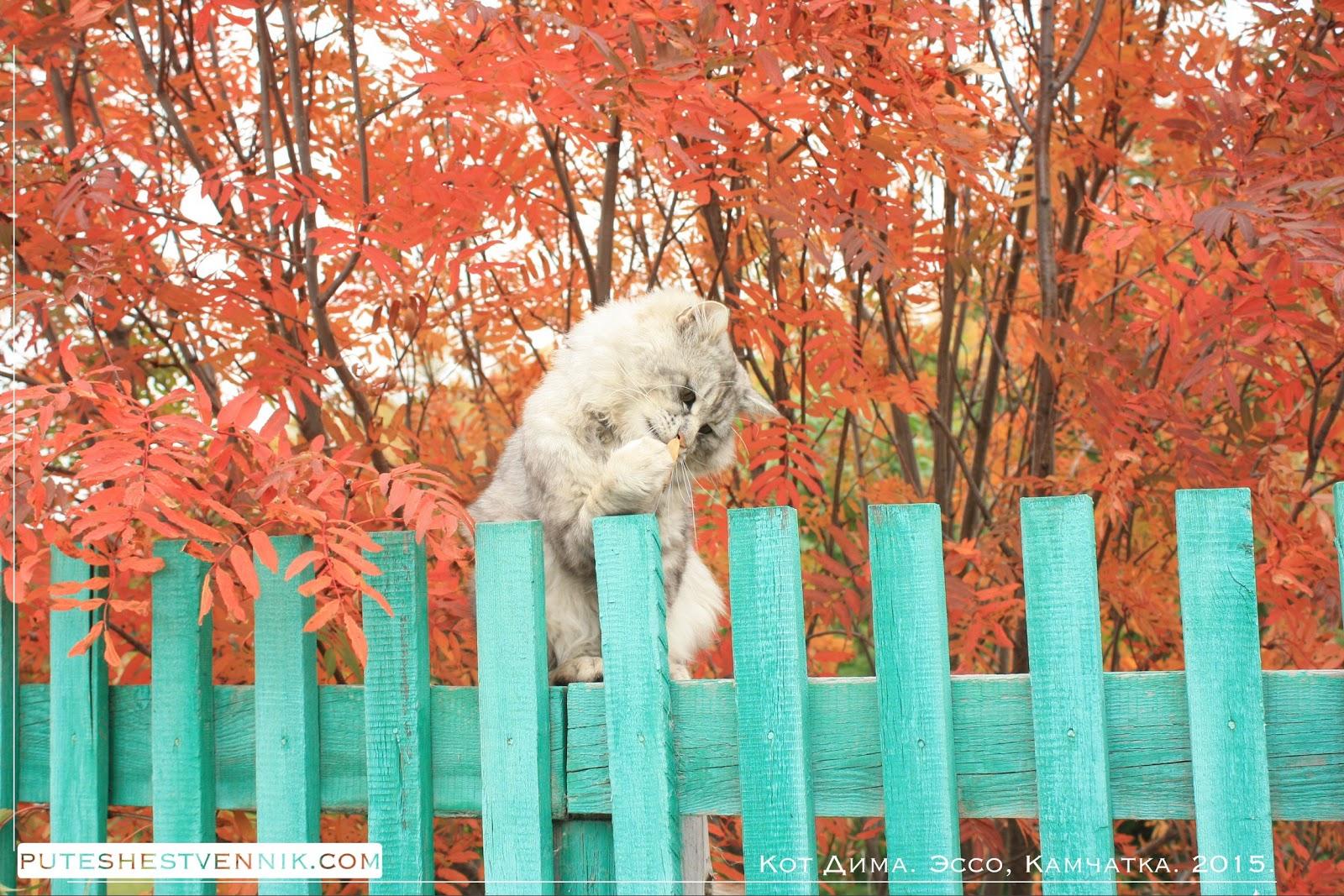 Камчатский кот изучает осенний лист