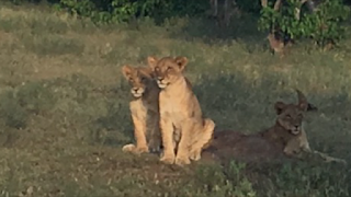 leijona, safari, botswana, mashatu, riitta reissaa