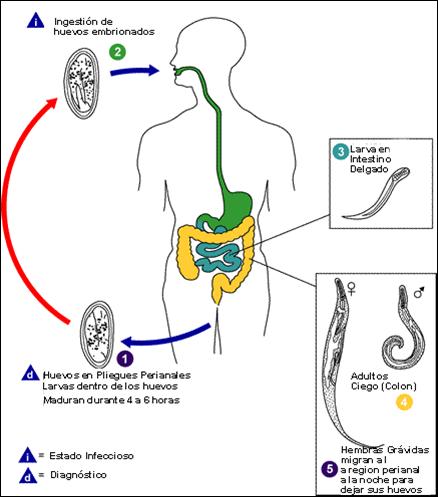 a galandféreg királyi küldetése papillomavírus kezelési 1. szakasz