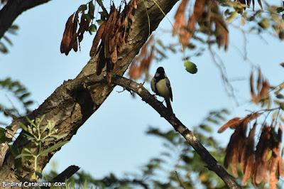 Mallerenga carbonera (Parus major)