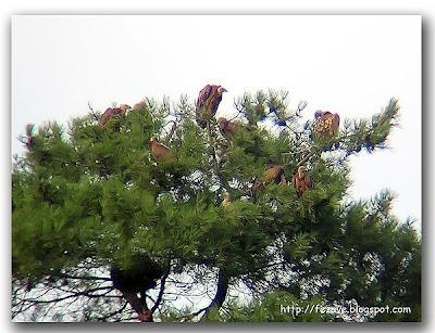 Buitres sobre un pino