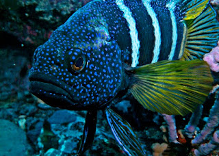 Jenis Ikan Hias Air Laut Blue Devil