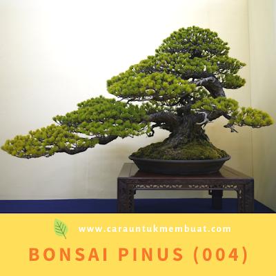 Bonsai Pinus (004)