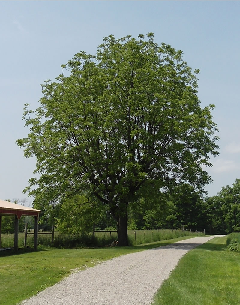 The Einsel House: An Old Walnut Grove