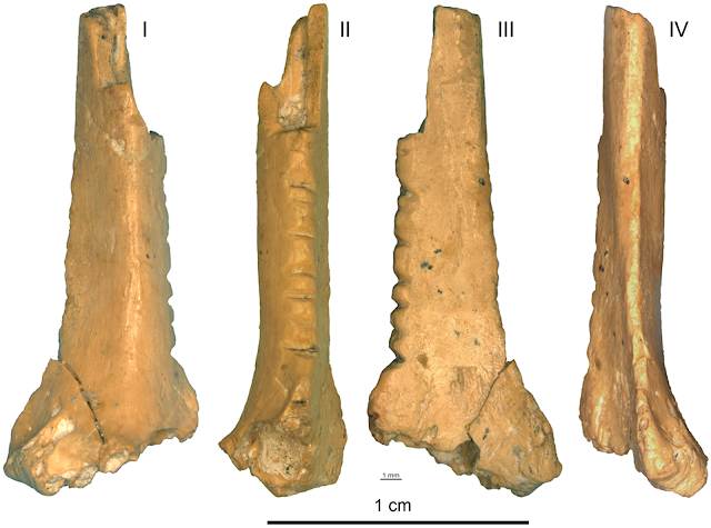 Decorated raven bone discovered in Crimea may provide insight into Neanderthal cognition