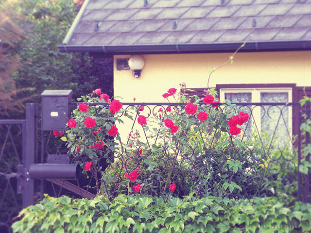 Chachamisu photography by Nataya Anindira - wander, beautiful things, Austria, small town, spring-summer, sunrays, sunny day,red roses, heart